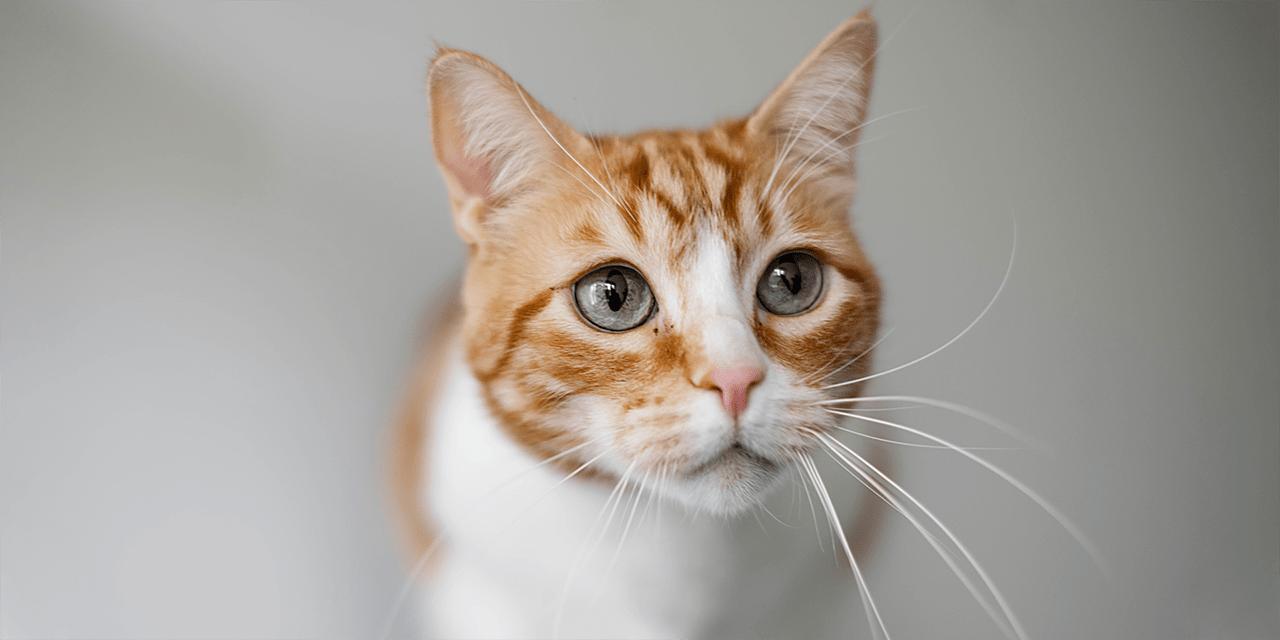 Lähikuva kissan naamasta