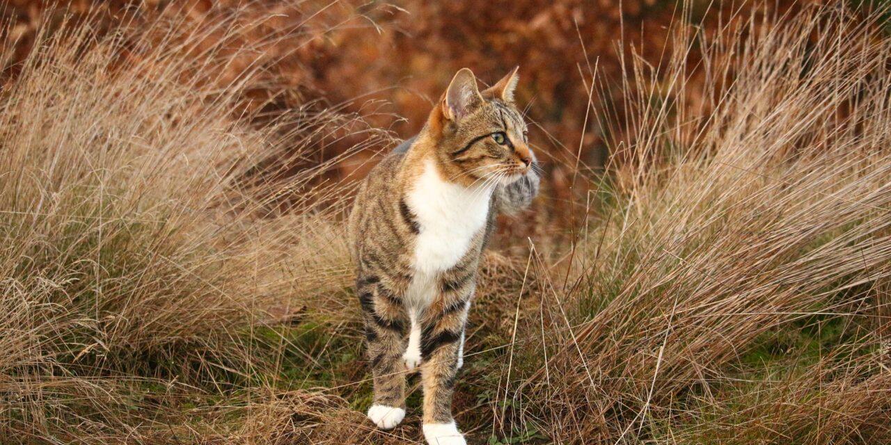 Ruskea raidallinen kissa tarkkailee ympäristöään syskyisessä maisemassa