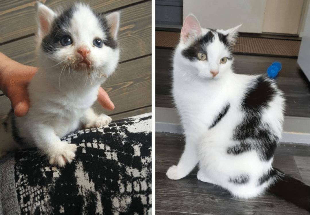 Kuvakollaasi, jossa kuva pienetä ja likaisesta mustavalkoisesta kissanpennusta ja hyvinvoivasta nuoresta kissasta.