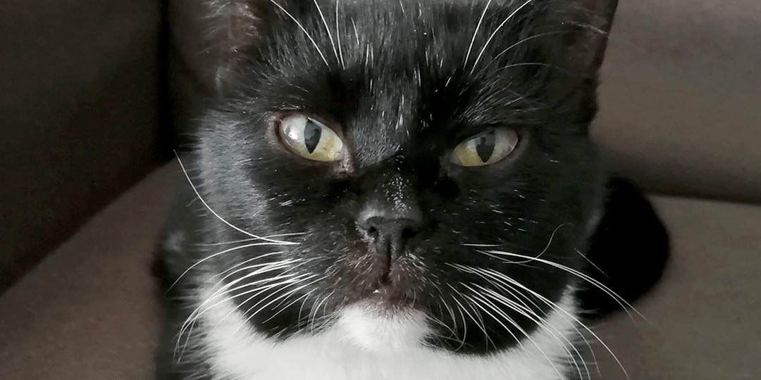 Mustavalkoinen kissa katsoo alaviistosta kameraan silmät sirrillään.
