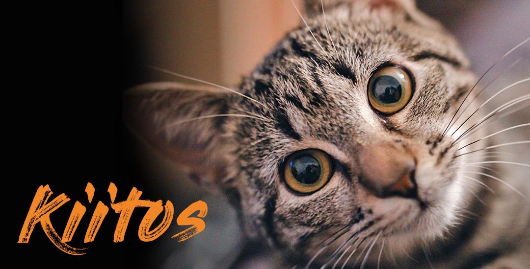 """Nuori ruskearaidallinen kissa katsoo pää kallellaan kameraan. Lisäksi teksti """"Kiitos""""."""