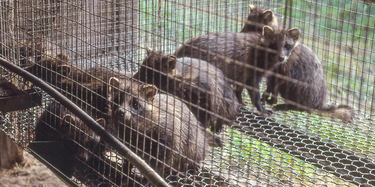 Turkiseläimiä verkkopohjaisessa häkissä.