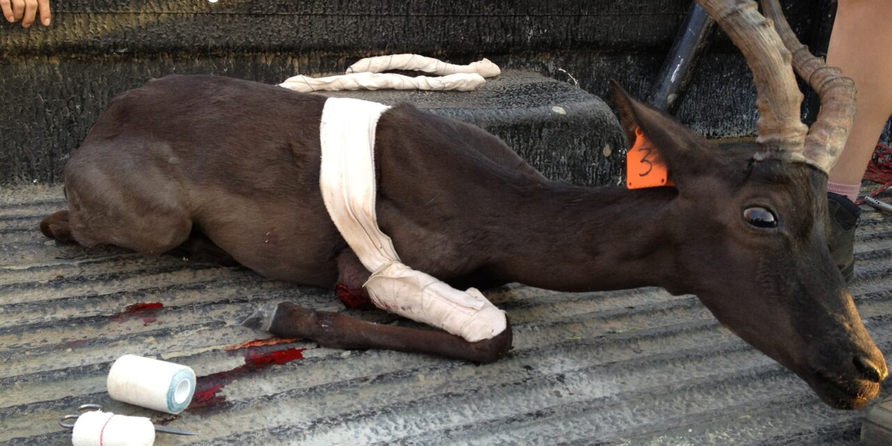 Black impala, eli mustaksi jalostettu antilooppi. Eläimellä on jalka murtunut ja sitä ollaan viemässä hoidettavaksi.