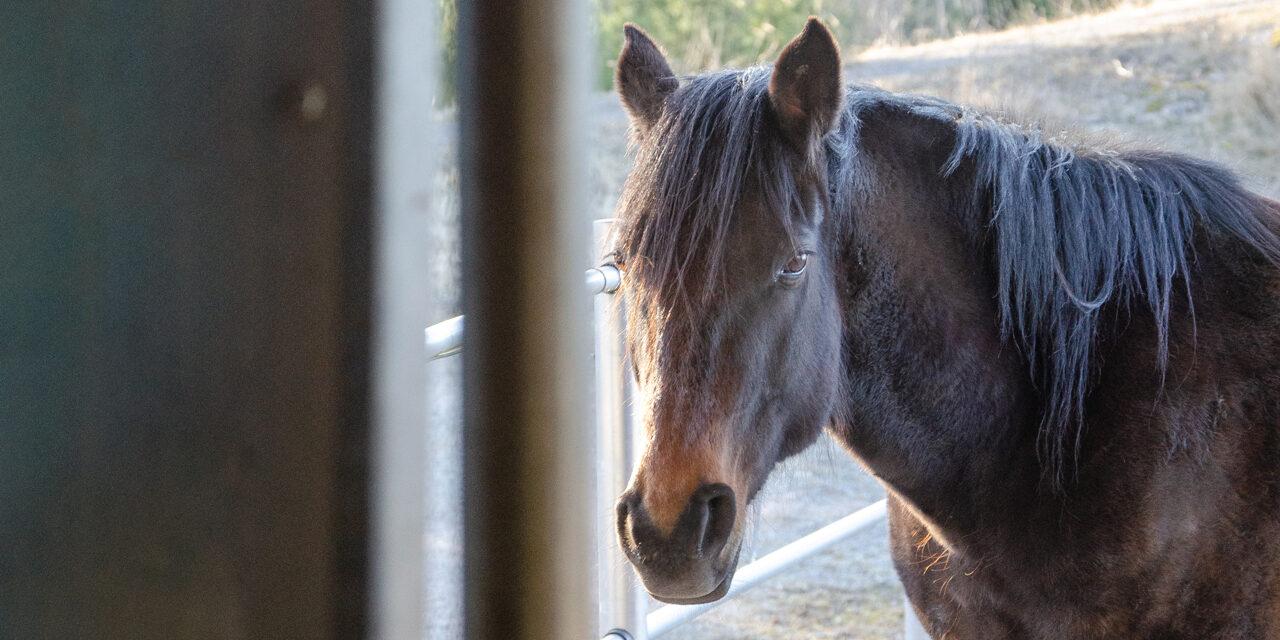 Hevonen aitauksessa.