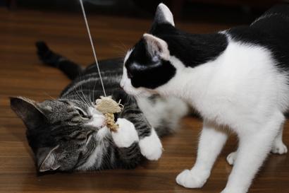 Kissan Lisääntyminen